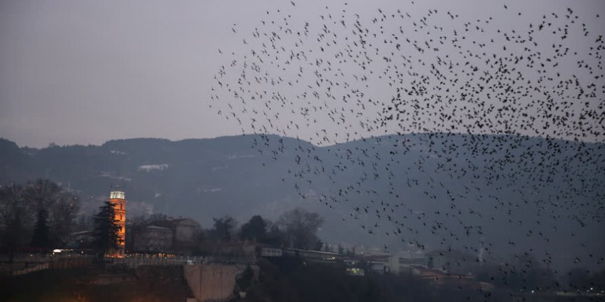 Bursa'da sığırcıkların dansı