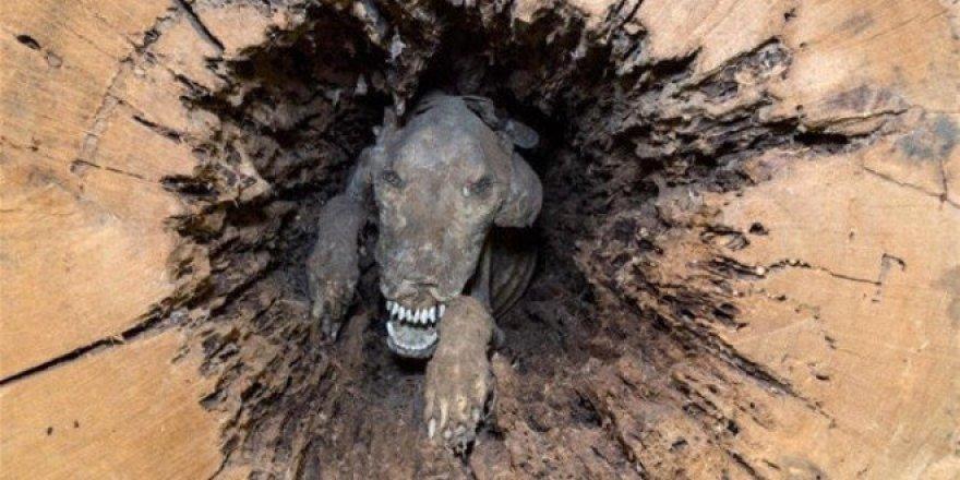Sıkıştığı ağaçta 50 yıl boyunca kalarak mumyalaştı