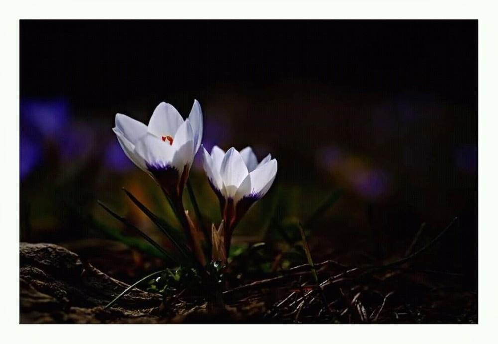 Baharın müjdecisi çiçekler yüzünü göstermeye başladı 1
