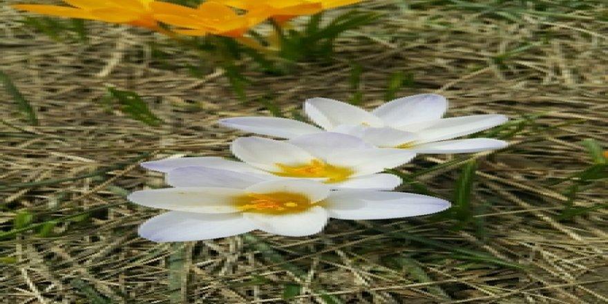 Uludağ'da çiçekler kar dinlemiyor