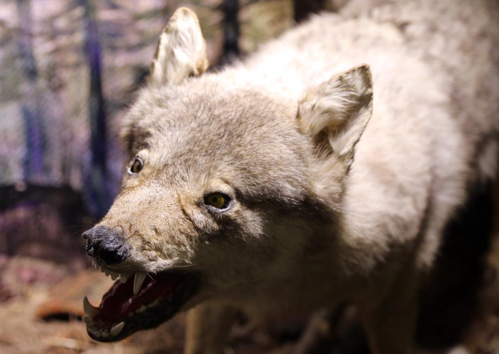 Telef olmuş hayvanlardan Zooloji Müzesi kurdu 1