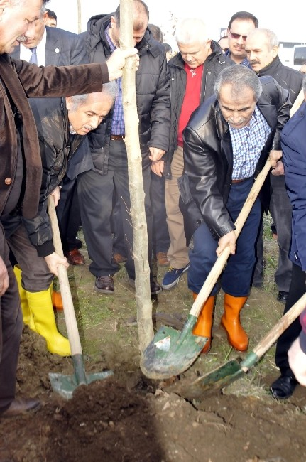 180 ağaç için 200 çınar ağacı dikildi