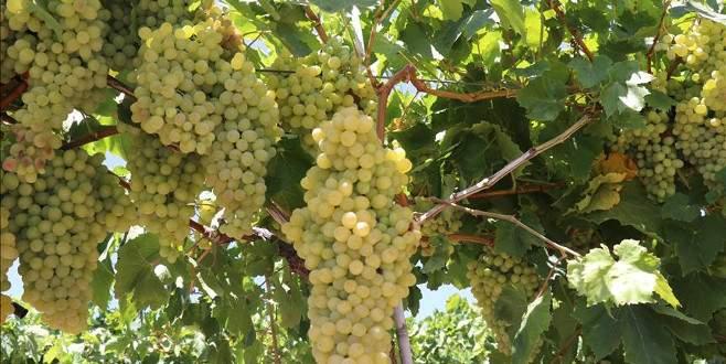 Türkiye'den ilk üzümler Rusya'ya