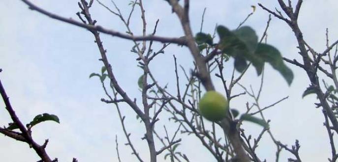 Bursa'da erik ağacı mevsimi şaşırdı
