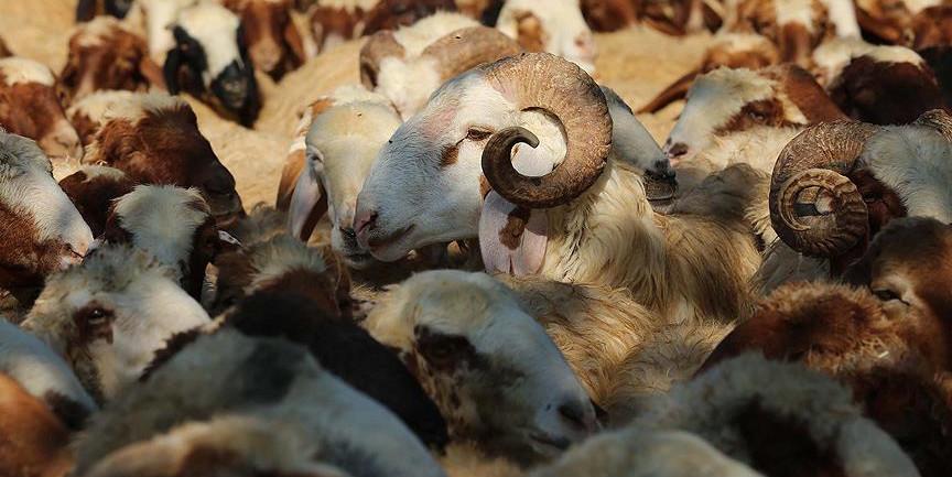 Koyun keçi yetiştiricilerine destek başvurusu için ikinci şans!