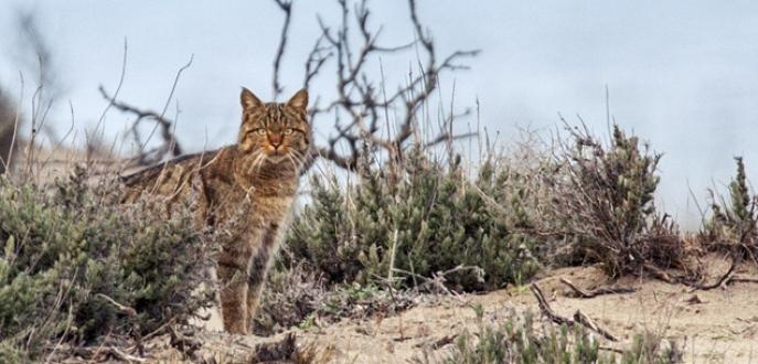 Bursa'da yaban kedisi objektiflere takıldı