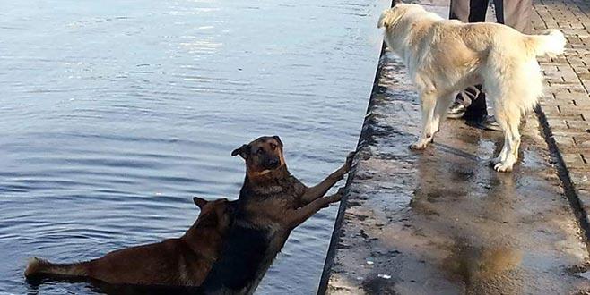 Denize düşen köpeği, ardından atlayan köpek kıyıya getirdi
