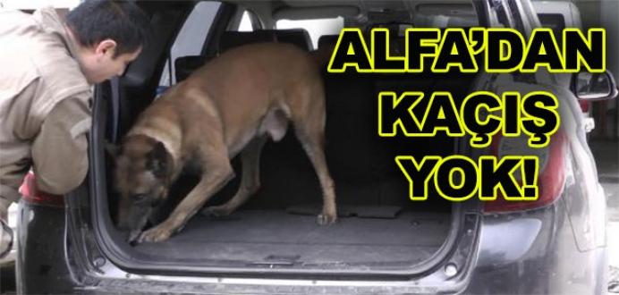 'Alfa', gres yağına rağmen esrarı buldu