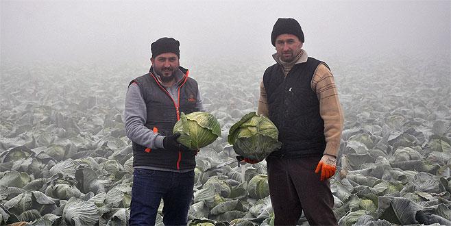 Dondurucu soğukta lahana hasadı