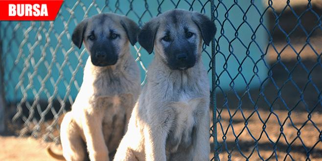 Bu köpekleri almak isteyenlere 7 ay sonraya gün veriliyor