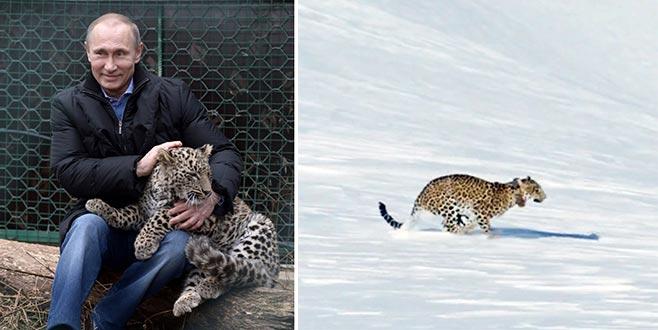 Putin'in leoparıölü bulundu