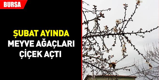 Meyve ağaçları çiçek açtı