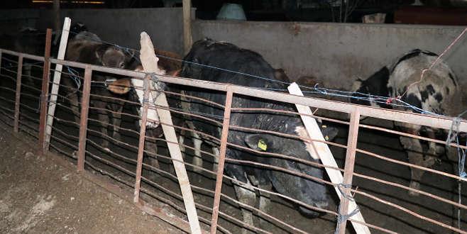 Kızgın inek sahibini öldürdü