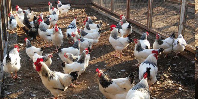 Uludağ Üniversitesi'nden organik tavuk ve yumurta