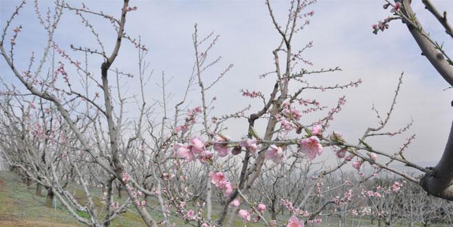 Bursa'da şeftaliler çiçek açtı
