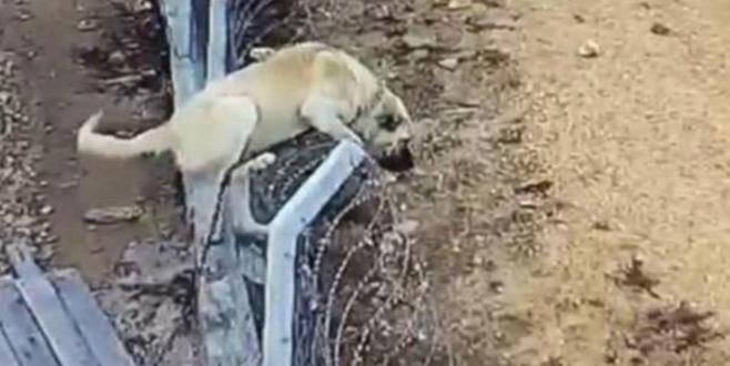 Bir anda tellerden atladı! Köpeğin hırsızlara karşı amansız mücadelesi
