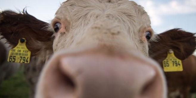 Mezbahaya götürülürken kaçan inek özgürlüğe yüzdü