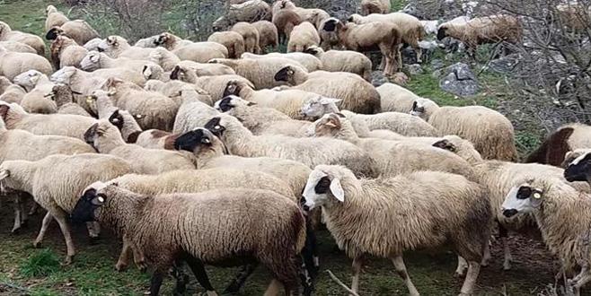 300 koyun için başvurular başladı