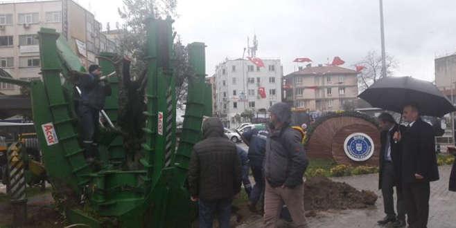 Gemlik'te 100 yıllık zeytin ağacı nakledildi