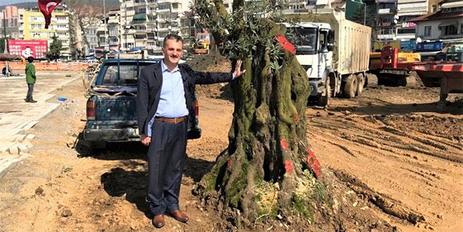 6 asırlık zeytin ağacı nakledildi