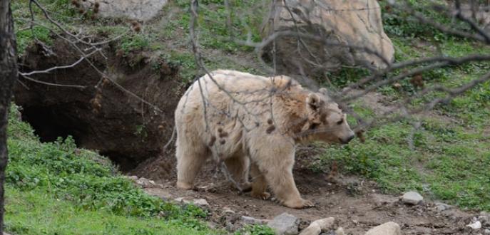 Kış uykusuna yatmak isteyen ayı, hayvanat bahçesine in kazdı