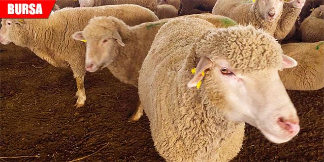 Büyükşehir'den çiftçiye koyun desteği