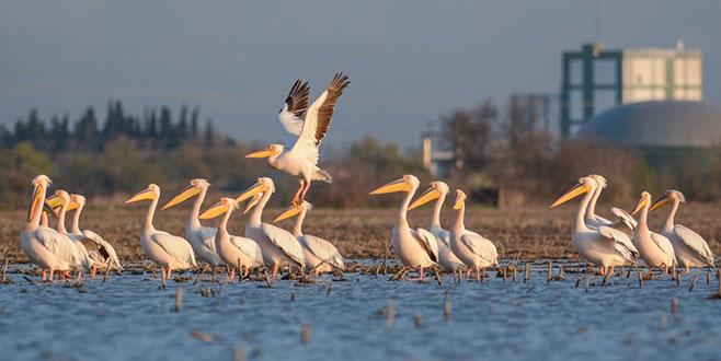Karacabey'de pelikan sayımı başlıyor