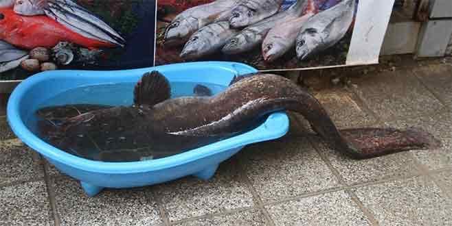 İznik Gölü'nde 1,5 metrelik yayın yakalandı