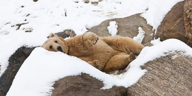 Bursa'da yavru ayıya kardan beşik