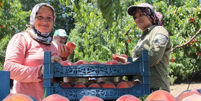 Bursalı çiftçinin 'şeftali' sevinci