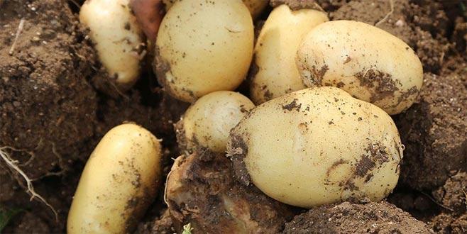 Soğan ve patates ile ilgili çok önemli açıklama