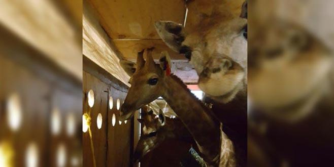 16 aylık 3 zürafa Tahran'a uçtu