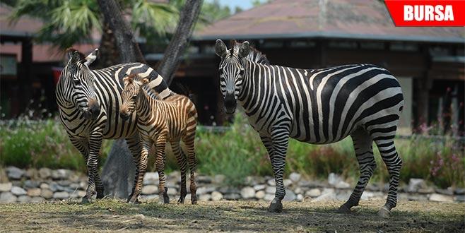 Bir haftalık zebra yavrusuna yoğun ilgi