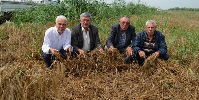Buğday hasadına yağmur engeli