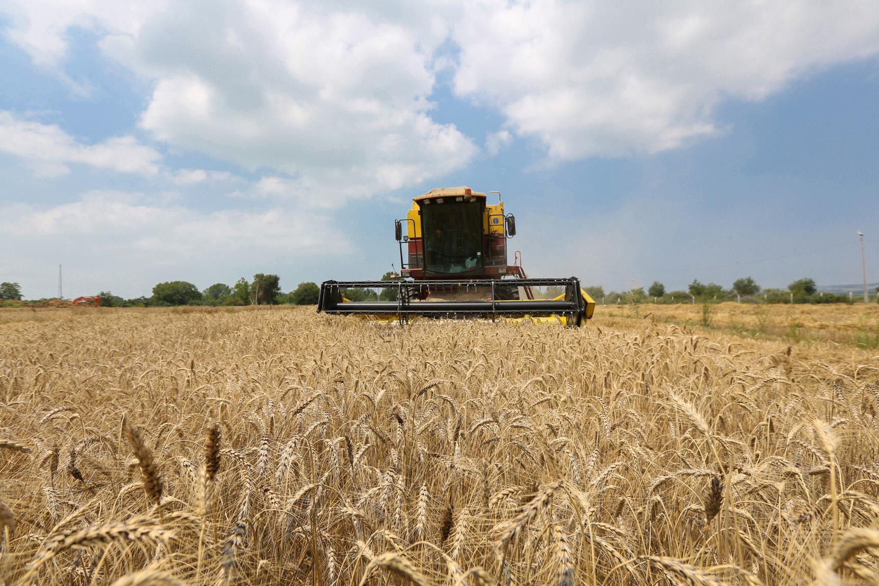 Nilüfer'de ekolojik tarım koşullarına uygun buğday üretildi