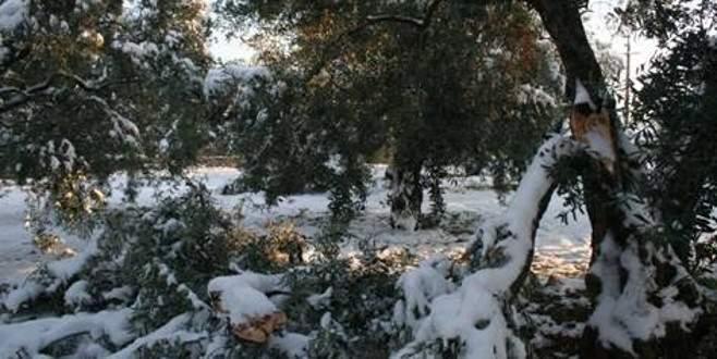 Kar ve soğuk zeytini vurdu