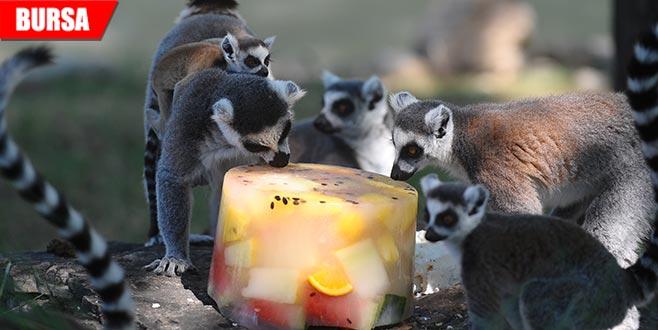 Sevimli lemurların buzlu karpuz keyfi