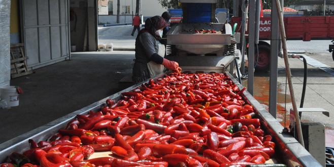 Bursa'dan Hollanda'yabin 200 ton salça
