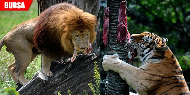 Aslan ve kaplanlara nefes kesen beslenme testi