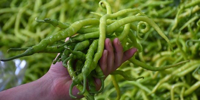 Yeşil biberde ikinci hasat dönemi