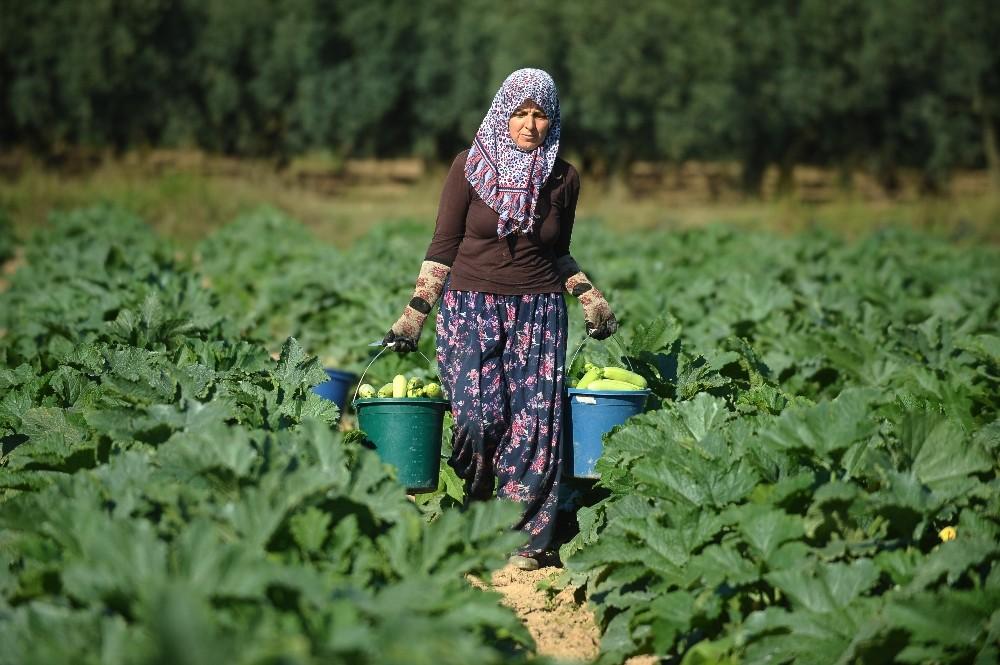 İznik'in kabakları Almanya'ya ihraç ediliyor
