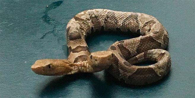 Çift başlı yılan şoku! Evin arka bahçesinde bulundu
