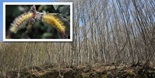 Bursa ormanlarındaki tırtıl istilasıyla ilgili açıklama