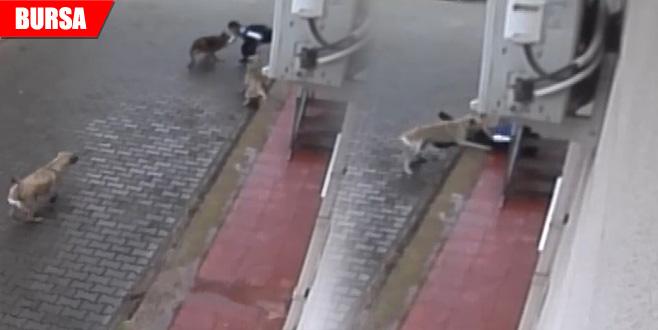 Aç kalan köpekler ilkokul öğrencisine böyle saldırdı