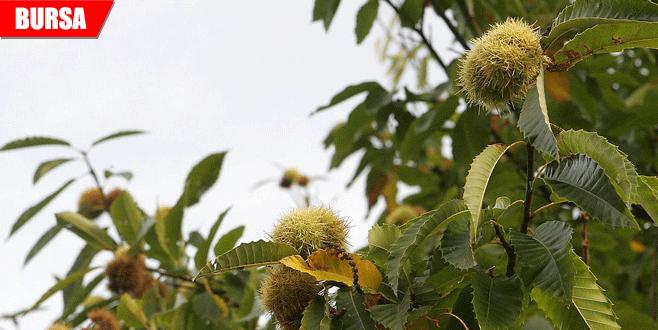 Kestanede üretimi düşüren 'Gal Arısı'na karşı biyolojik mücadele