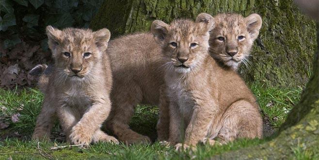 Dişi aslan, üç yavrusunun babasını öldürdü