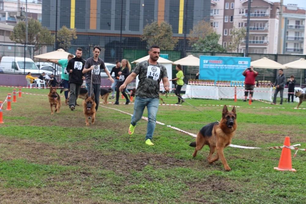 Alman Çoban Köpekleri yarıştı