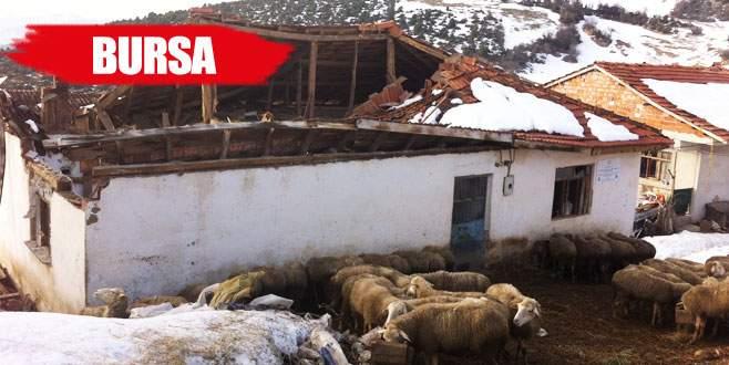 Ağılın çatısı çöktü 15 hayvan telef oldu
