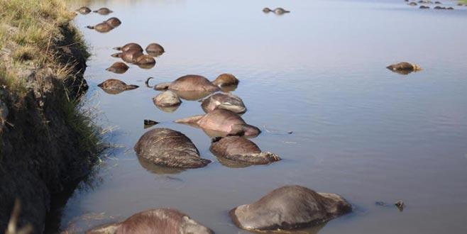 400 bufalo nehirde boğuldu