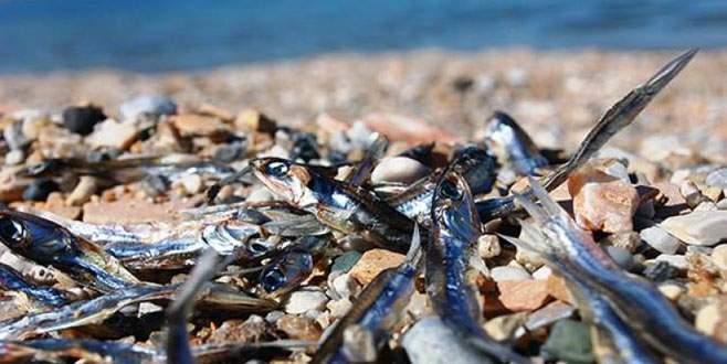 Binlerce ölü balık kıyıya vurdu